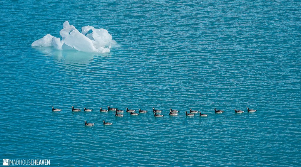 Elder ducks swimming in the blue waters of the Jökulsárlón Glacier Lagoon