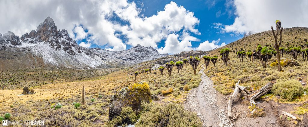 Path leading through a mountain valley covered with giant groundsels, near the top of Mount Kenya
