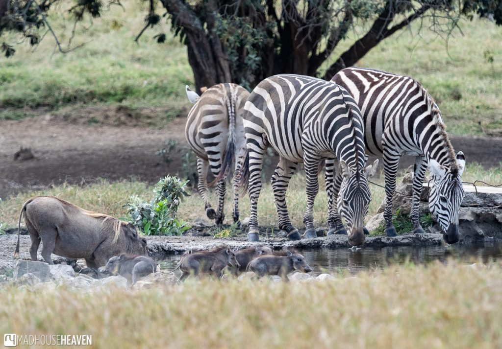 One of the waterholes in the Hell's Gate National Park with a family of warthogs and a group of zebras