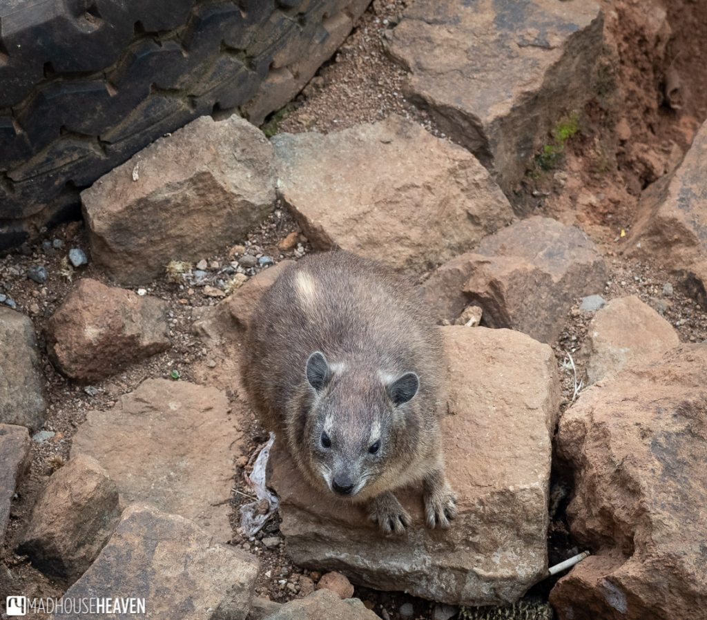 Extremely cute hyrax, actually a close relative of elephants of all things