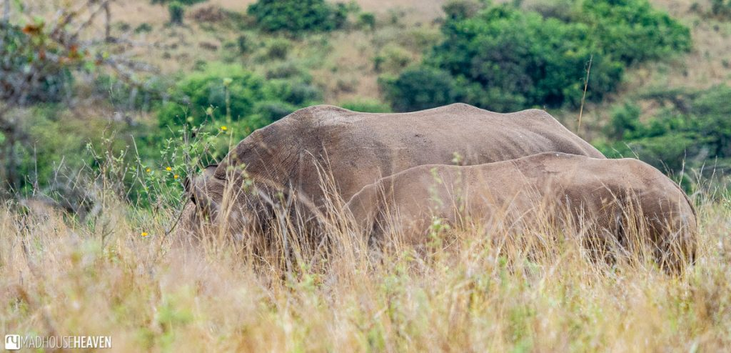 Mother rhino and her, already very big, calf, very close to side of the road in the Nairobi National Park