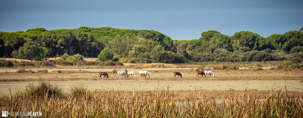 Horses grazing on an open plain in the Doñana National Park