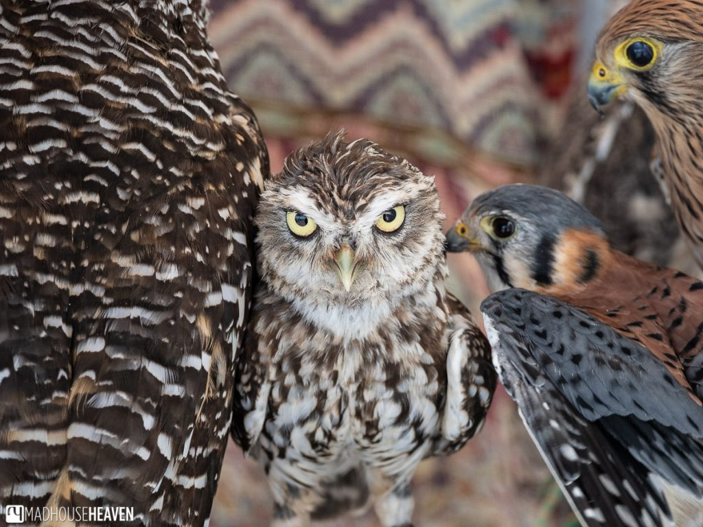 A sallows owl surrounded by falcones and large owls in Balcony New Peña, in Arcos de la Frontera
