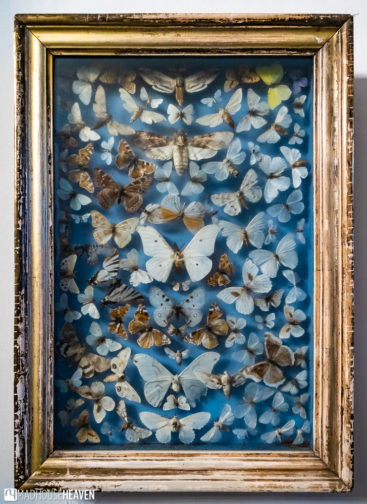 A collection of dead butterflies in a frame