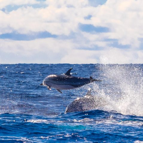Wild Dolphins in the Atlantic Ocean, near Sao Miguel, the Azores, Portugal