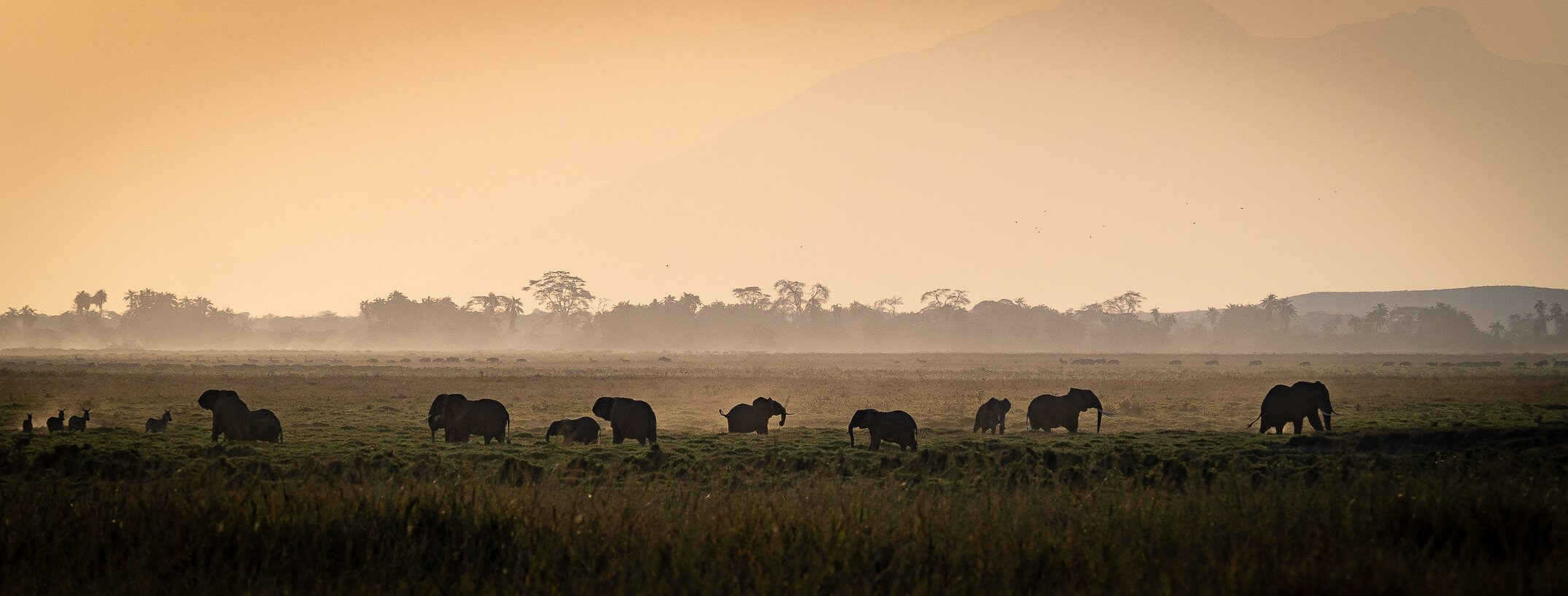 Herd of elephants wandering around on the grasslands of Kenya