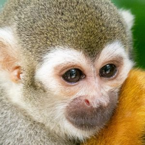 Squirrel Monkey, River Safari, Singapore Zoo, Singapore