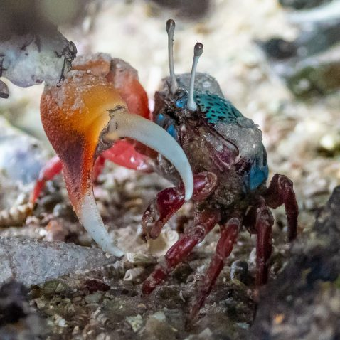 Blue Fidler Crab in the Mangroves of Mida Creek in Kenya
