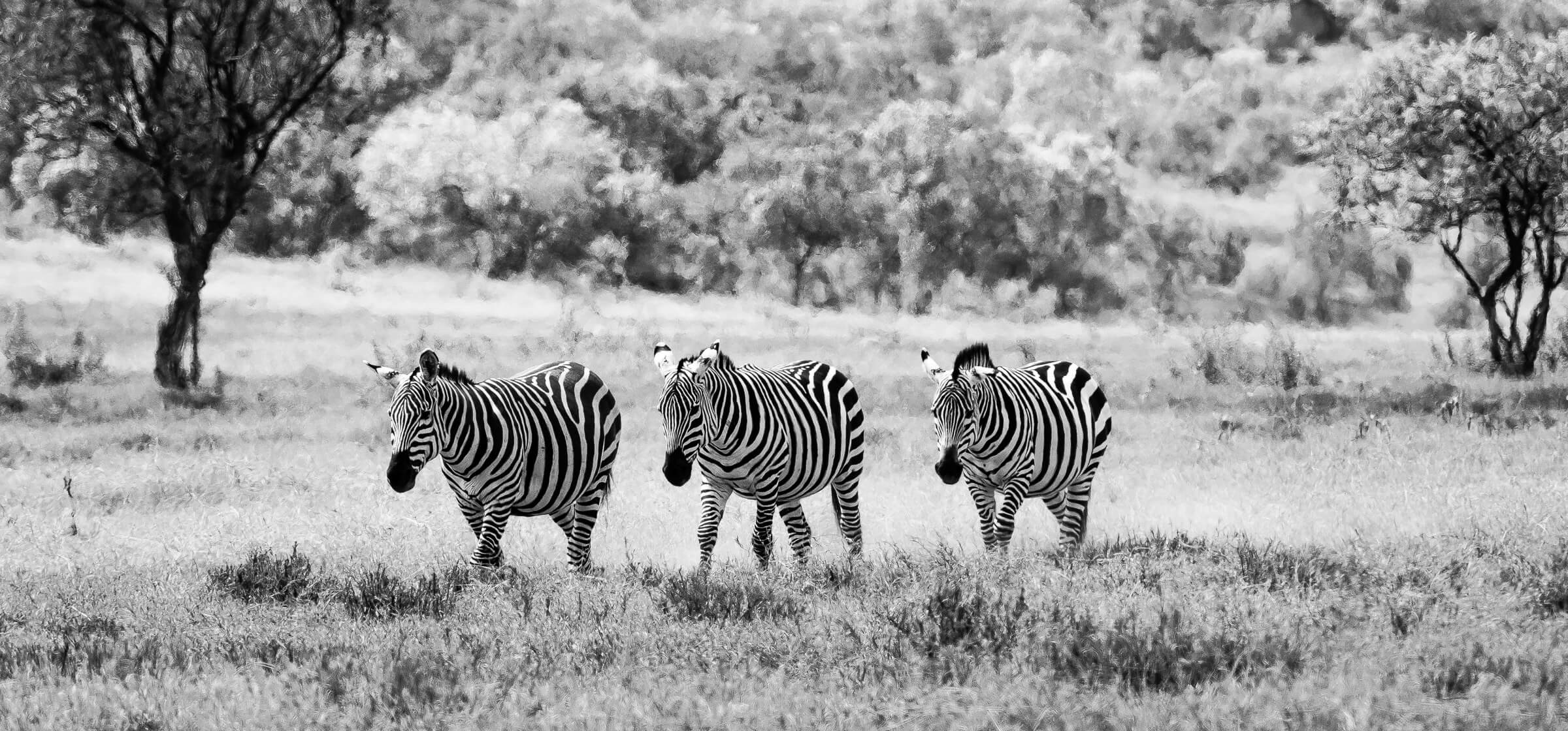 three zebras walking on the grassy plains of Hell's Gate in Kenya