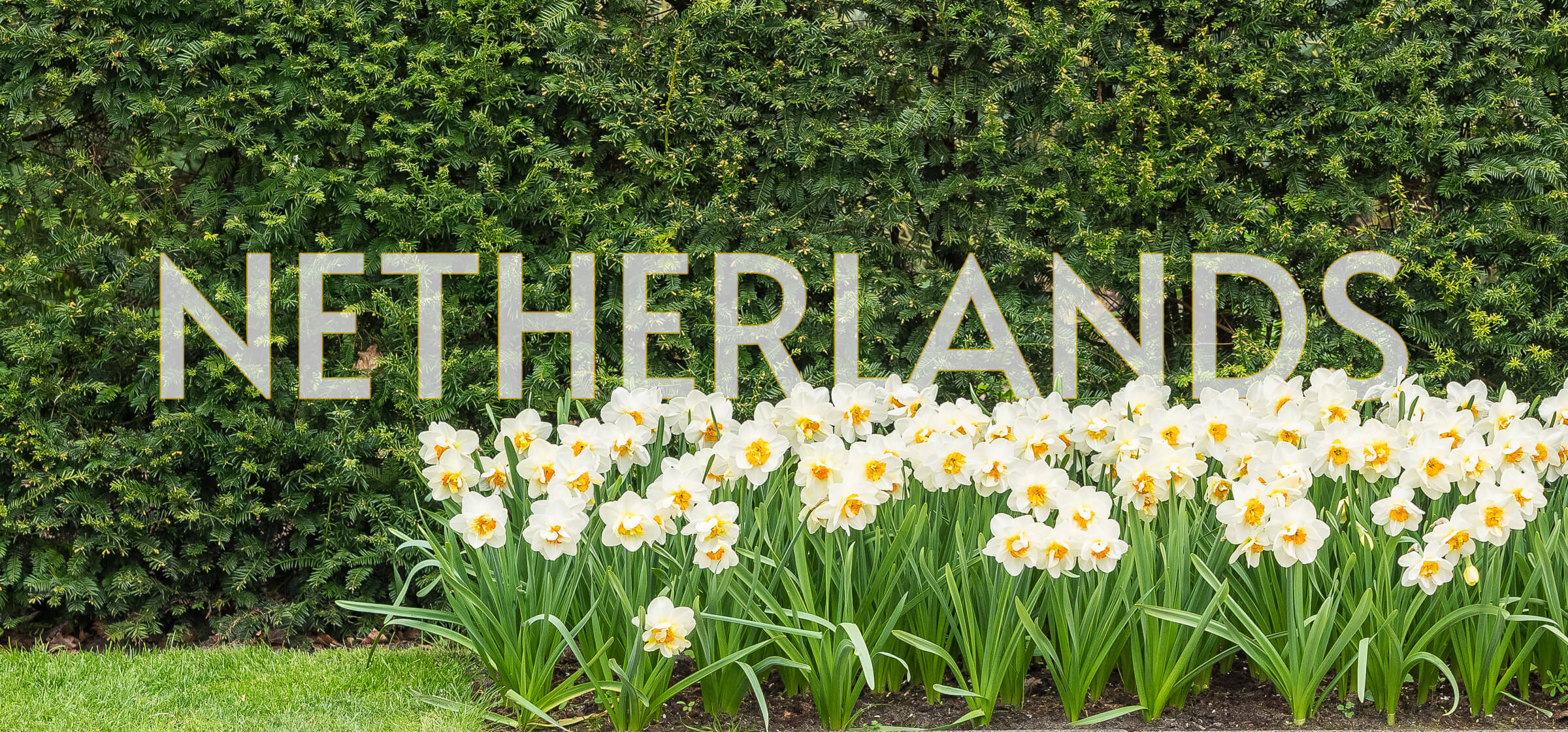 featured image representing the netherlands, a bed of white tulips and a hedge