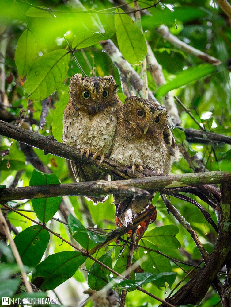 A mating pair of sokoke scops owl in the tree