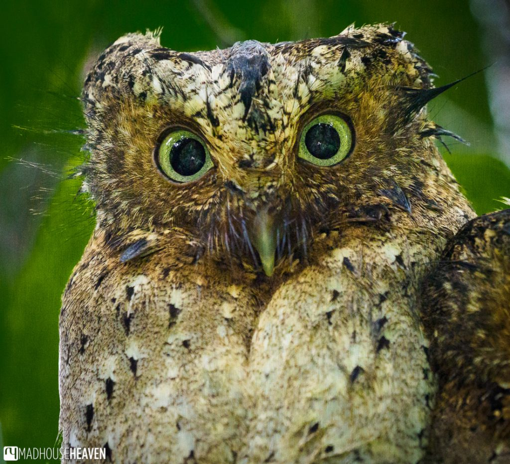 A Sokoke Scops owl with the forest reflected in his eyes