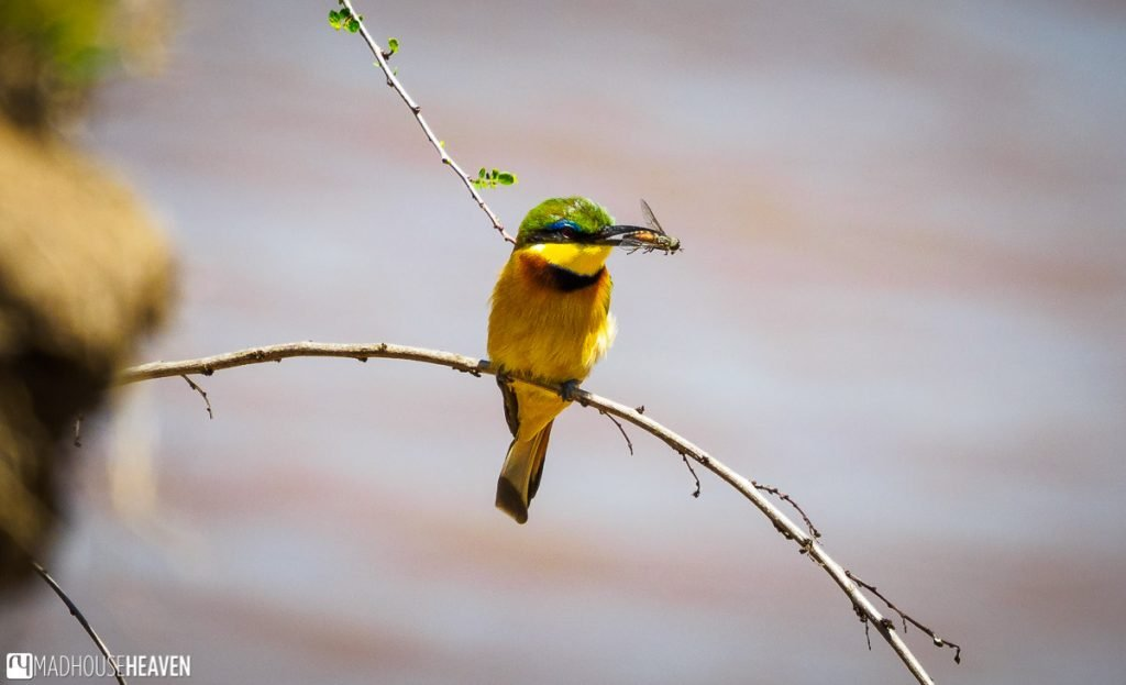 Bee-eater with a bee caught in its beak