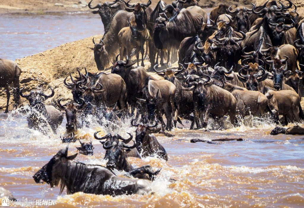 Wildebeest herd on the banks of the Mara River, starting to cross