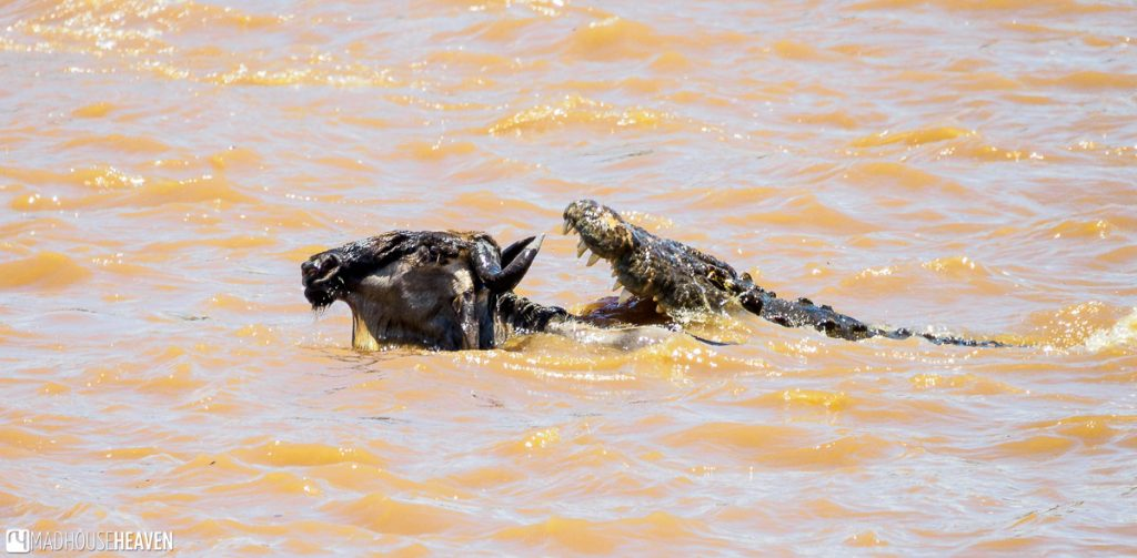 A crocodile with jaws wide open, about to catch the head of a Wildebeest